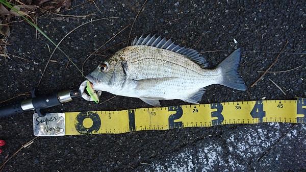 加計呂麻島で釣り上げたクロダイ
